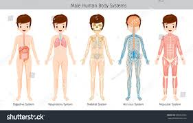 Human Anatomy And Body Systems Male Human Anatomy Body Systems Physiology Stock Vector 688363063