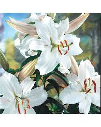 save your pennies deals on white oriental lily bulbs snow