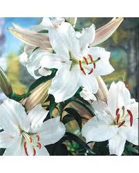 stargazer lilly shopping special white bulbs snow princess