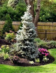 evergreen trees for landscaping pine a spruce