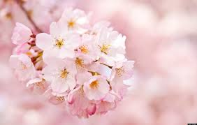 cherry blossoms history behind the bloom huffpost