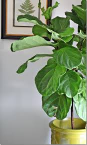 falling for the fiddleleaf fig southern hospitality