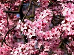 free photo almond tree ornamental shrub almond blossom max pixel