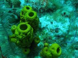 Strawberry Vase Sponge Porifera Facts For Kids
