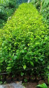 Teh Tehan jual tanaman teh tehan jual pohon teh tehan jual tanaman pagar