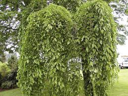 where to buy mulberry morus alba pendula weeping mulberry tree