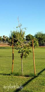 how to and how not to stake a tree ramblings from a desert garden
