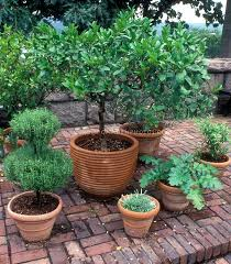 Laurel Topiary - herb garden in pretty terracotta pot containers at the cloisters