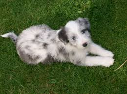bearded collie x terrier bearded collie breed info health pictures u0026 puppy videos