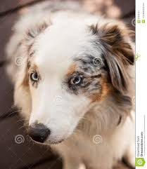 australian shepherd blue eyes white brown black australian shepherd with blue eyes stock photo