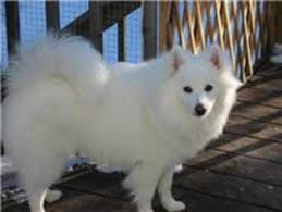 american eskimo dog toy for sale 17 best ideas about toy american eskimo on pinterest was tun