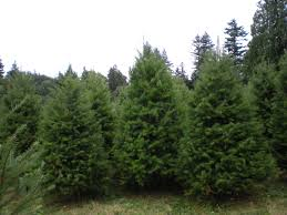 types of christmas trees at our farm mcfee u0027s christmas tree farm