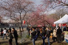 cherry blossoms japan block fair bring thousands to roosevelt island