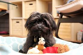 affenpinscher india life arvada colorado arvadapress com