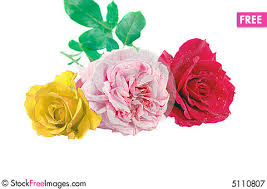 Different Color Roses Three Different Color Roses Free Stock Photos U0026 Images 5110807