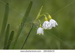 Snowflake Flower - snowflake flower fotografie snímky pro členy zdarma a vektory