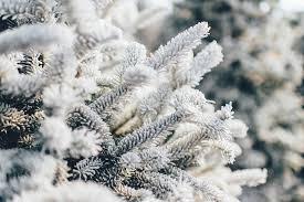 free photo frosty pine tree snow winter free image on