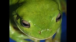australian frogs do the dew science aaas