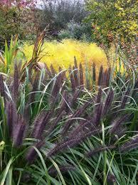 mouldry grass black purple ornamental grass 404