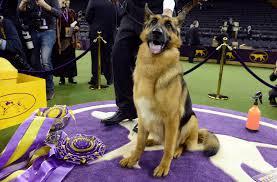 belgian sheepdog crossword german shepherd wins best in show at westminster kennel club dog