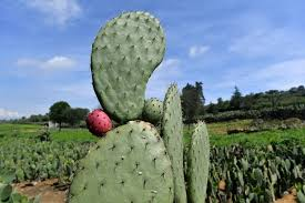 Seeking Cactus Cast Mexico S Prickly Pear Cactus Energy Source Of The Future