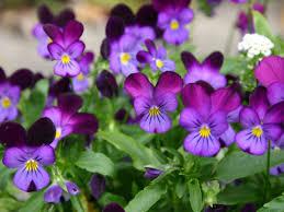 Fragrant Plants For Shade - 9 best flowers for garden design reader u0027s digest
