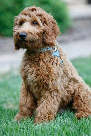 goldendoodle puppy treats 57 best puppies images on dogs puppies and