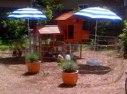 Caring For Backyard Chickens by How To Care For Your Chickens Kissmychicks