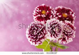 Autumn Flower Dahlia Autumn Flower Designwith Copyspace Stock Photo 64578211