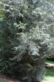 hemlock wooly adelgid identification and control