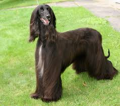afghan hound therapy dog afghan hound breeds and photos and videos list of dogs breeds