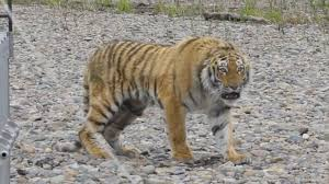 siberian tiger rescued from city streets returned to