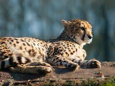 affectionate cheetahs wallpapers majestic cheetah cat tap to see more cute animal iphone ipad