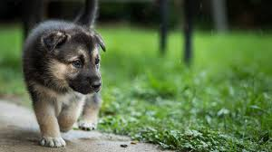 dog wallpapers beautiful puppy dog wallpapers hd wallpapers rocks