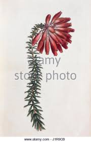 botanical sts botanical engraving stock photos botanical engraving stock