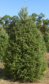 douglas fir tree wholesale douglas fir trees pseudotsuga taxifolia brown s tree