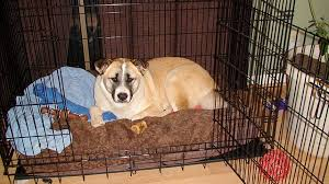 Comfortable Dog Canine Crate Training The Balanced Canine