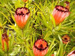 what plants are native to australia proteus australian native plant gardening pinterest plants