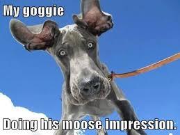 Great Dane Meme - i has a hotdog great dane funny dog pictures dog memes