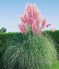 Pflanzen Fur Japanischen Garten Rosa Pampasgras 1 Pflanze Pampasgras Rosa Und Gärten