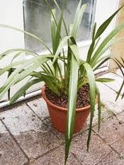 Orchids Care Plant Care For Cymbidium Orchids