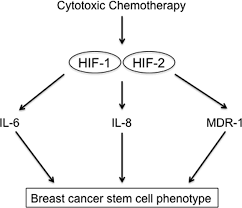 regulation of the breast cancer stem cell phenotype by hypoxia