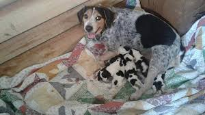 bluetick coonhound puppies indiana windy hills bluetick beagles home facebook