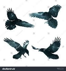 halloween raven background birds mix flying common ravens corvus stock photo 497753896