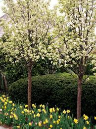 25 unique flowering pear tree ideas on bradford pear