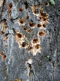 how to prevent woodpecker damage to trees