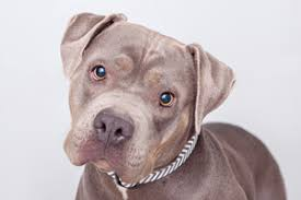 american pitbull terrier dalmatian mix all about pitbulls best friends animal society