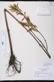 native plants of south carolina stillingia aquatica species page isb atlas of florida plants