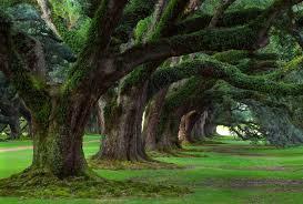 Louisiana forest images Forests trees oak plantation safe haven forest vacherie alley jpg