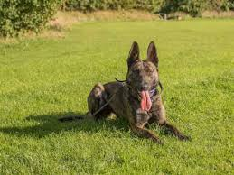 belgian shepherd for sale australia belgian shepherd dog dogs and puppies for sale in sheffield